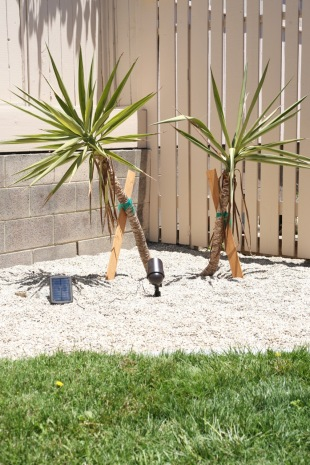 yucca cuttings planting
