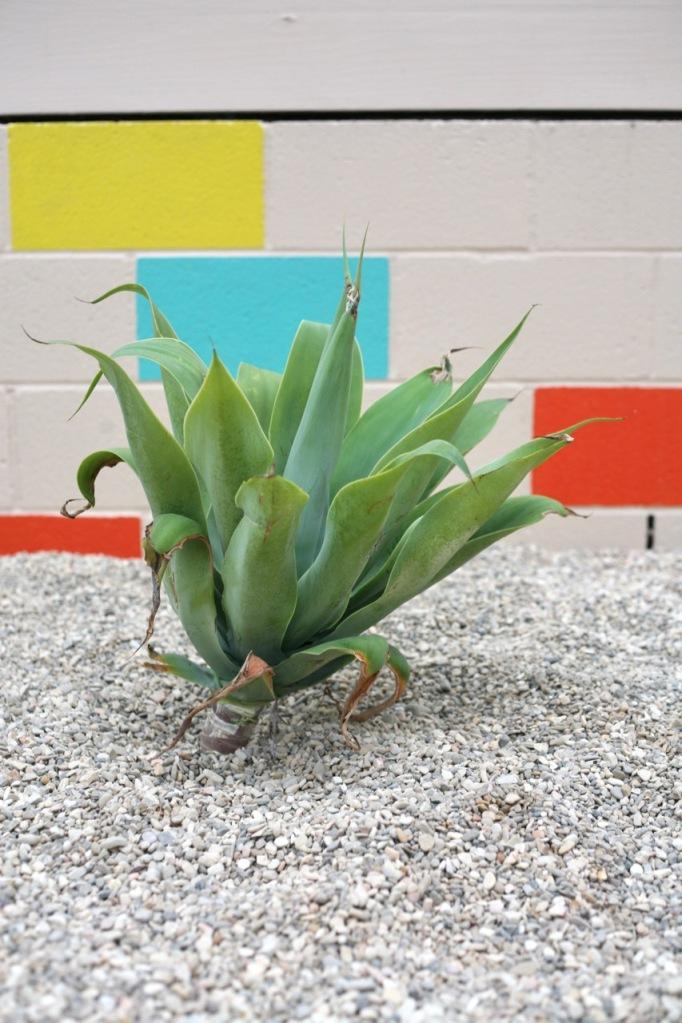 agave attenuata