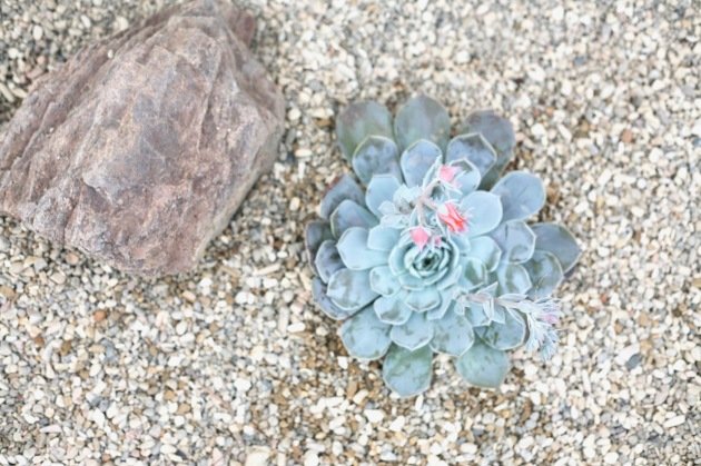 blue turquoise succulent flowering echeveria
