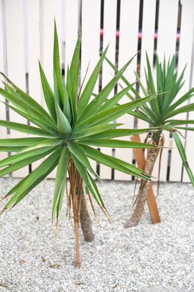 yucca elephantipes tree cuttings propagation