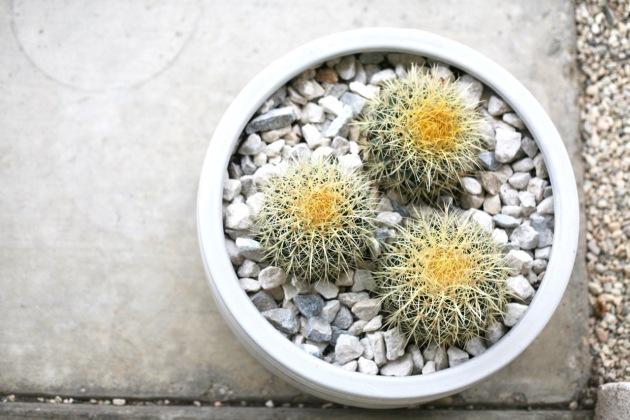 golden barrel cactus planter Echinocactus grusonii