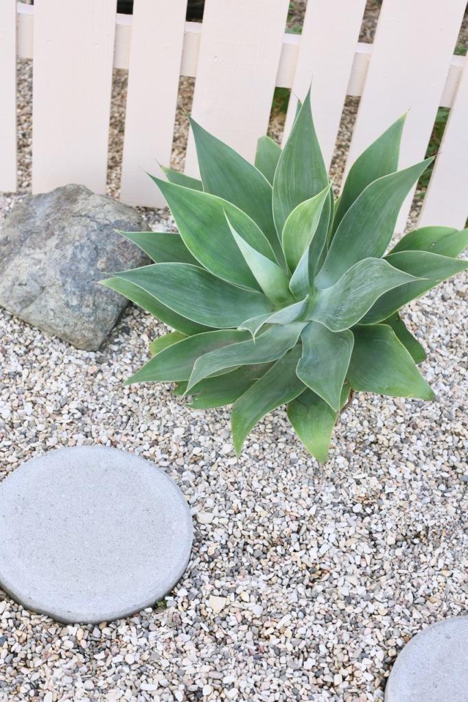 agave attenuata landscape