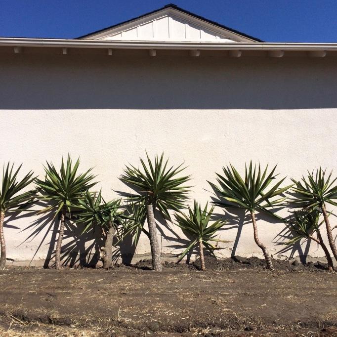 yucca tree cuttings propagation