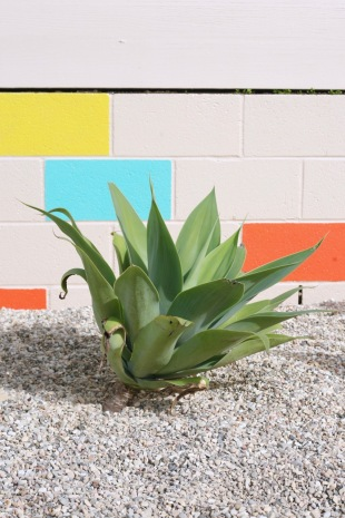 agave attenuata foxtail lion's tail drought tolerant yard desert modern landscape modern mid century backyard
