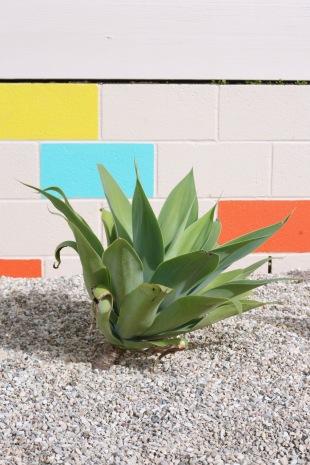 agave attenuata foxtail lion's tail drought tolerant yard desert modern landscape modern mid century backyard