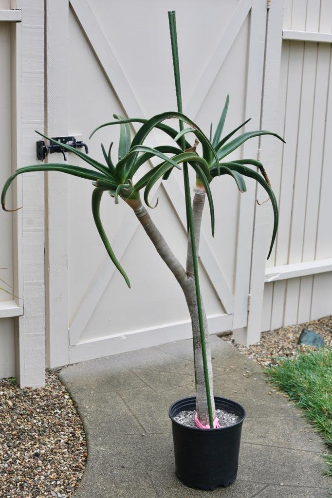 aloe barberae tree cutting propagation