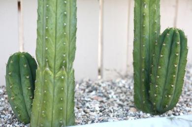 san pedro cactus pups